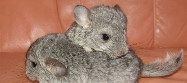 chinchilla care